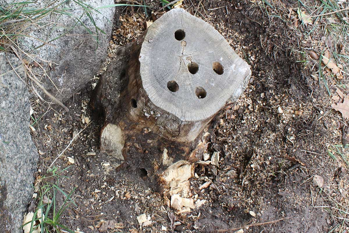 Referensstubben nr 3 Stubbe vid stenmur där vissa rötter har huggits av