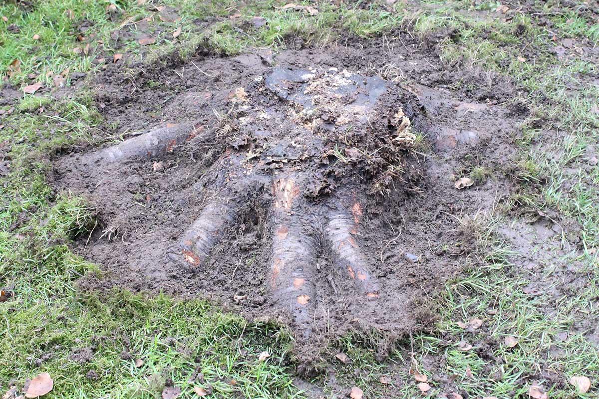 Referensstubbe 5 Stor stubbe med ytliga rötter som eldas upp i två omgångar Detta är stubben som skall tas bort