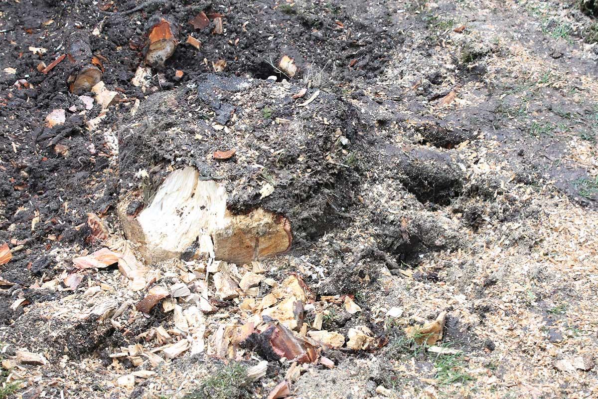 Referensstubbe 5 Stor stubbe med ytliga rötter som eldas upp i två omgångar där rötterna huggits av på vänstra delen av stubben i omgång 1
